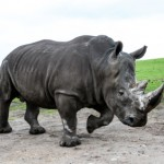white rhinoceros on the move