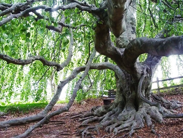 FOR YOUR BUCKET LIST  This massive English Weeping Beech, on the grounds of the Captain Bangs Hallet House Museum, is approximately 150 years old and has to be seen to be believed. Selfies welcome.