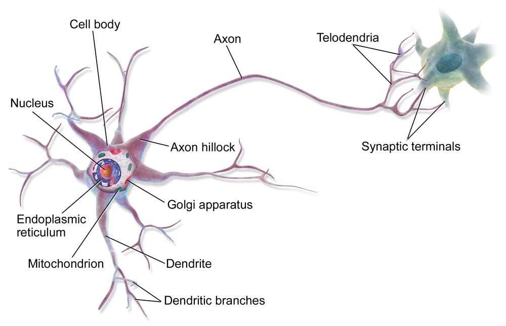 Anatomy of a multipolar neuron. Source:  BruceBlaus