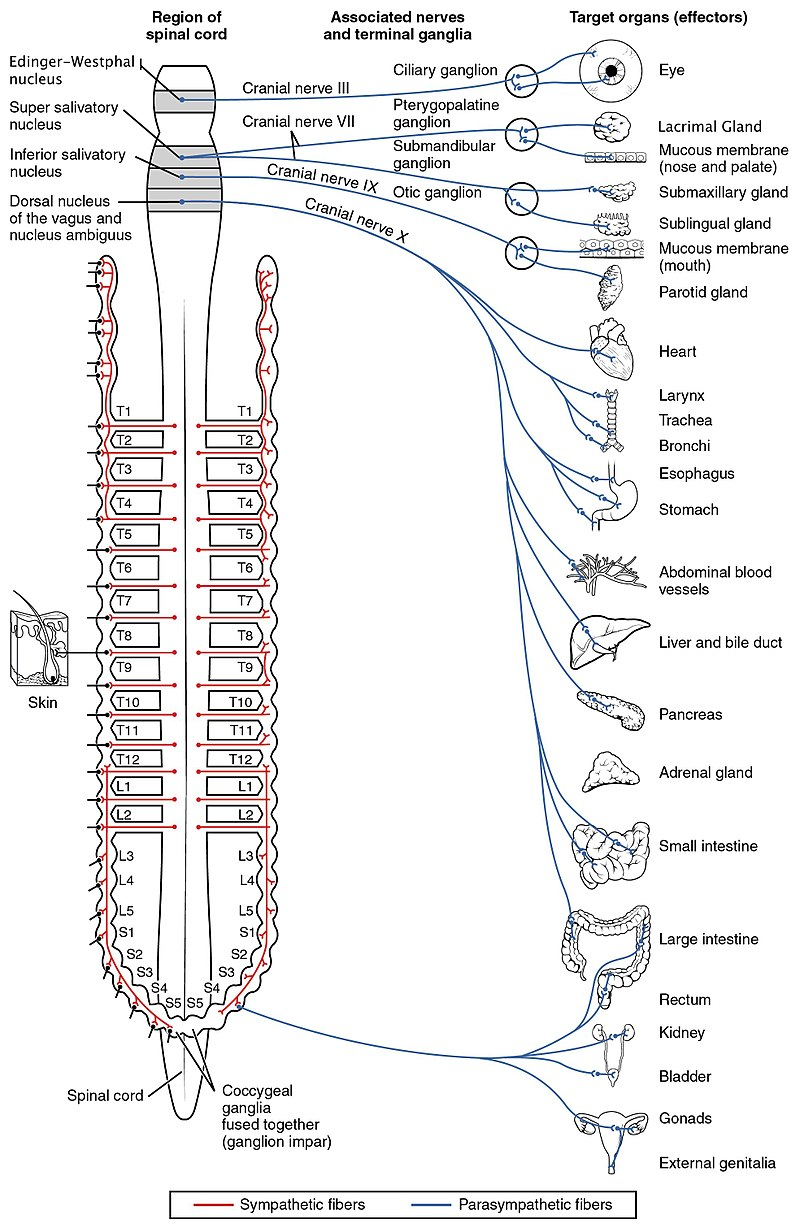 The distribution of nerves in the autonomic nervous system,  Source:  OpenStax College