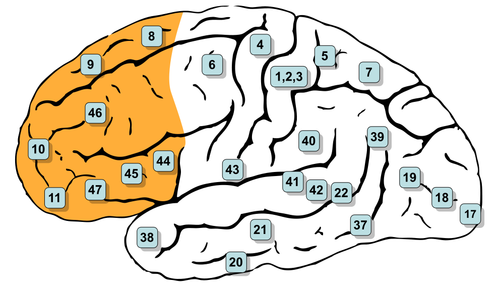 The prefrontal cortex is the orange part of the brain shown in the picture above. Source: Henry Vandyke Carter