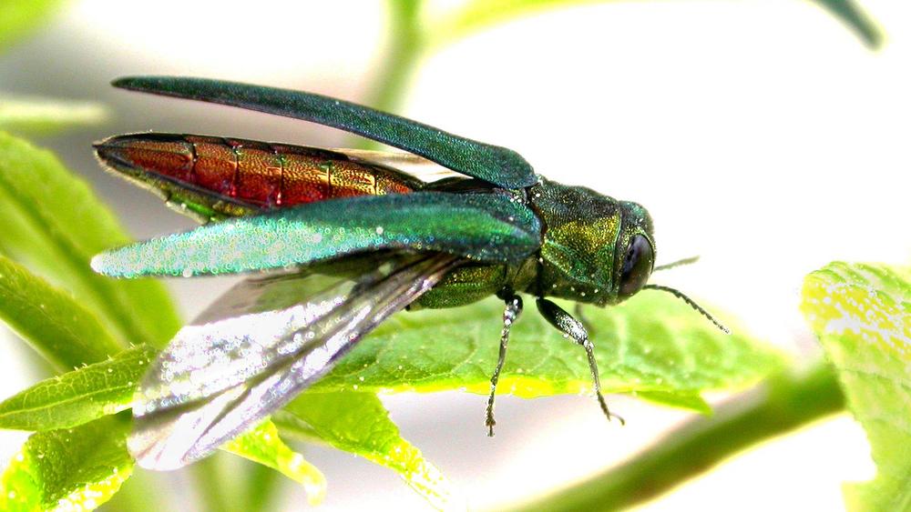 Emerald ash borer  US Dept of Agriculture via Fllickr