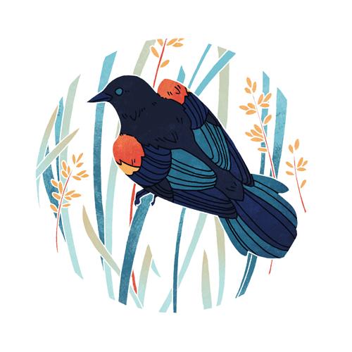 Red-winged Blackbird  digital, 2015