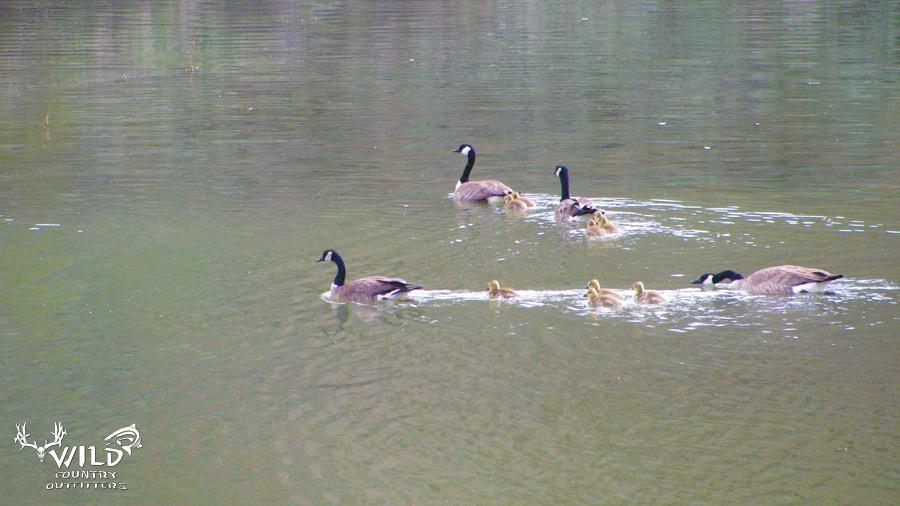 wildlife pond geese.jpg