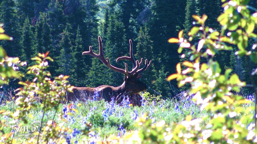 wildlife utah meadow bull elk velvet.jpg