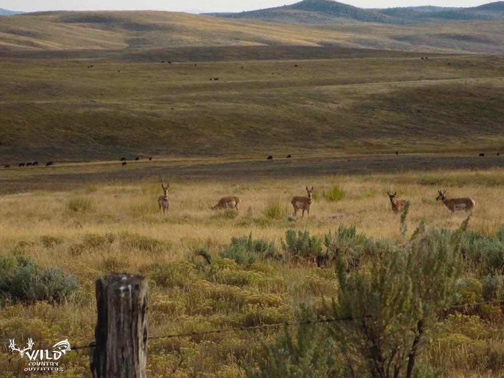 wildlife utah pronghorn antelope.jpg