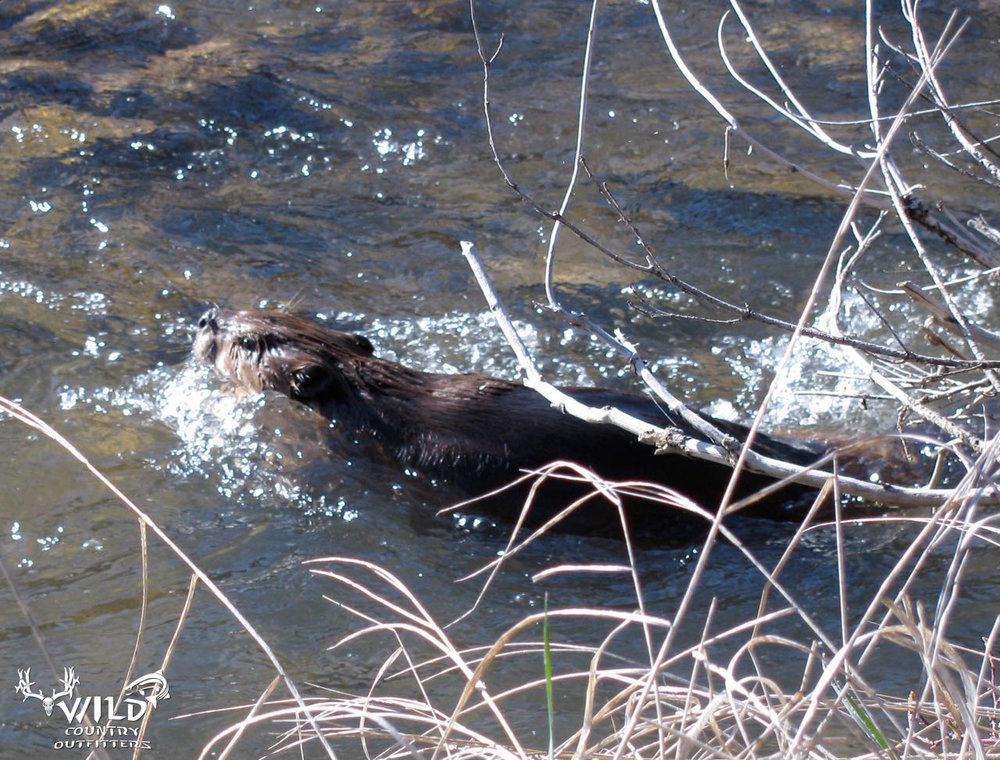 utah wildlife beaver.jpg