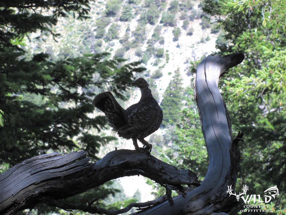 Utah wildlife Grouse blue.jpg