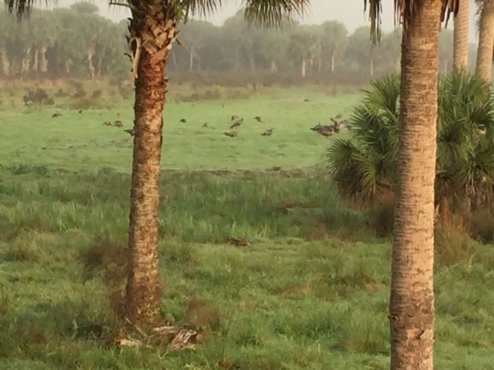 deseret-cattle-citrus-florida-ranch-osceola-turkeys.jpg