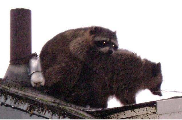 Fucking Raccoons