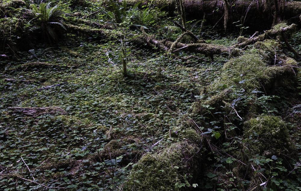 washington ho rainforest5.jpg