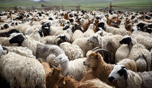 goat-and-sheep2.jpg