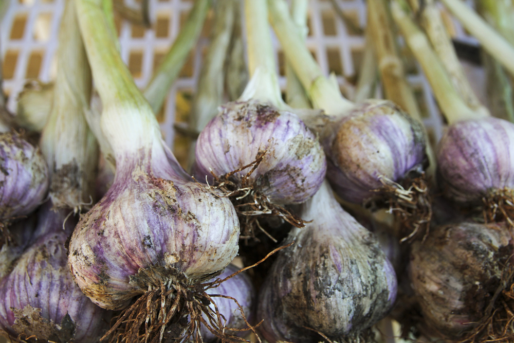 Glen Large Garlic.jpg