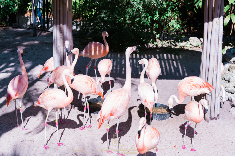 Sunken-gardens, Sunken-gardens-flamingos, Flamingos