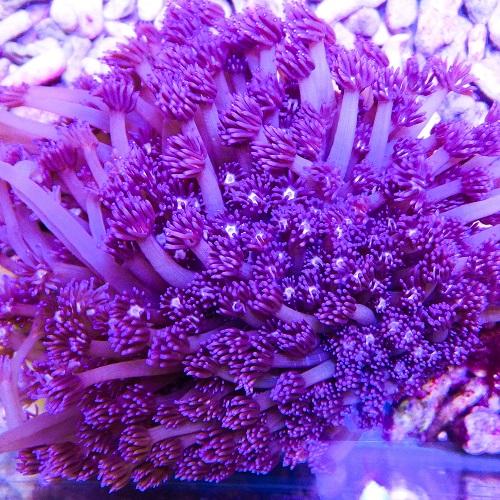 Goniopora-purple.jpg