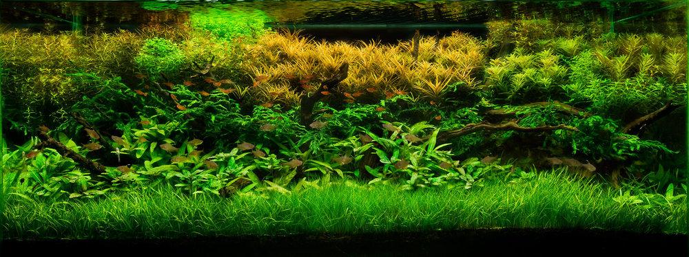 39_1aquarium_stemplants_fishtank.jpg