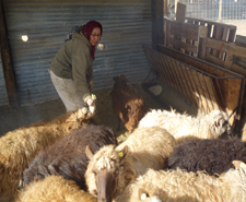 Tanibah Natani with sheep, Photo by Hal Cannon
