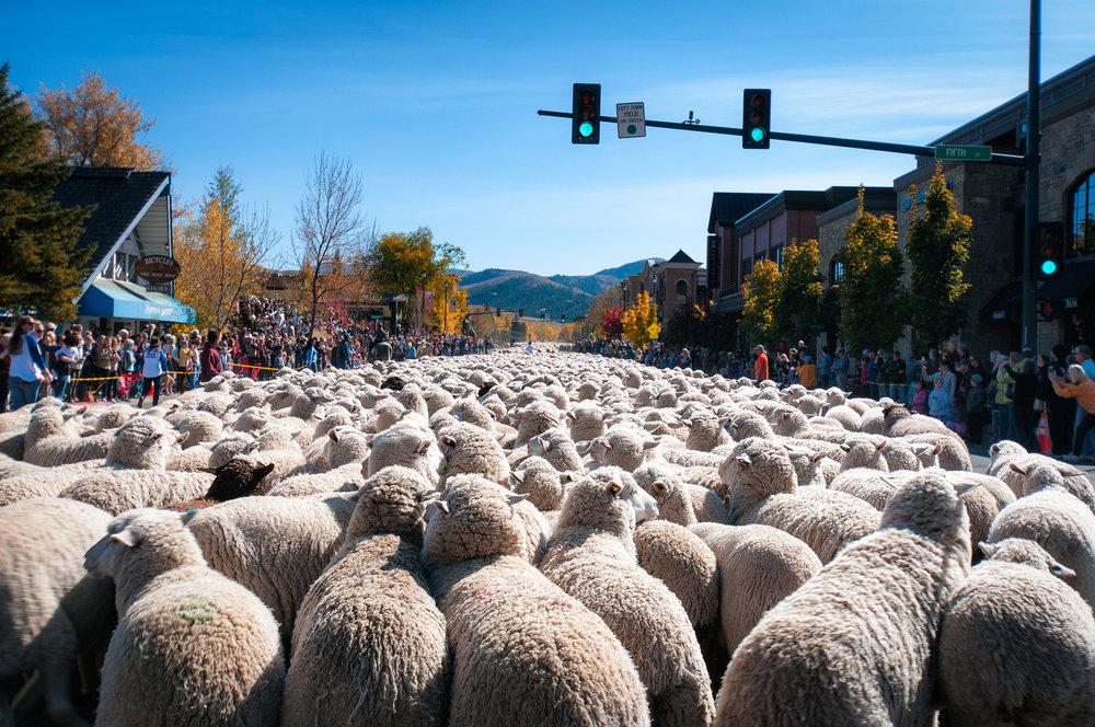 Sheep parade at Trailing of the Sheep
