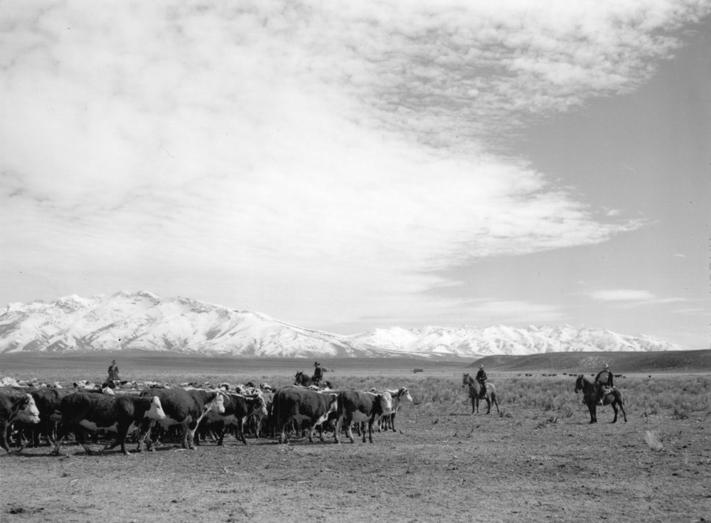 Rounding up of cattle, Elko County, Nevada. Arthur Rothstein, March 1940.