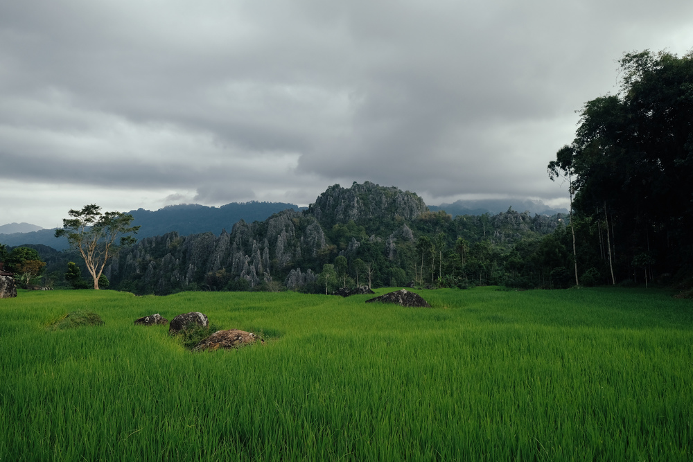 A wall of karst rocks overlook serene padi fields.