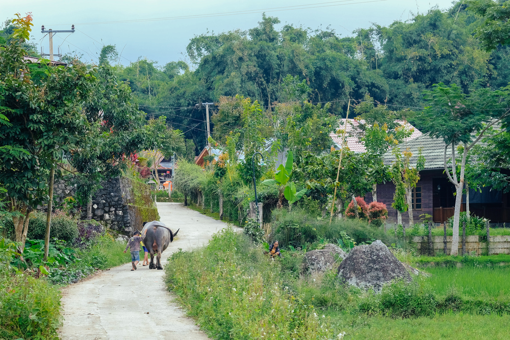 Buffalo first, is the way the Torajans have always lived. The buffalo are sacred animals, bridging the afterlife through their sacrifice.