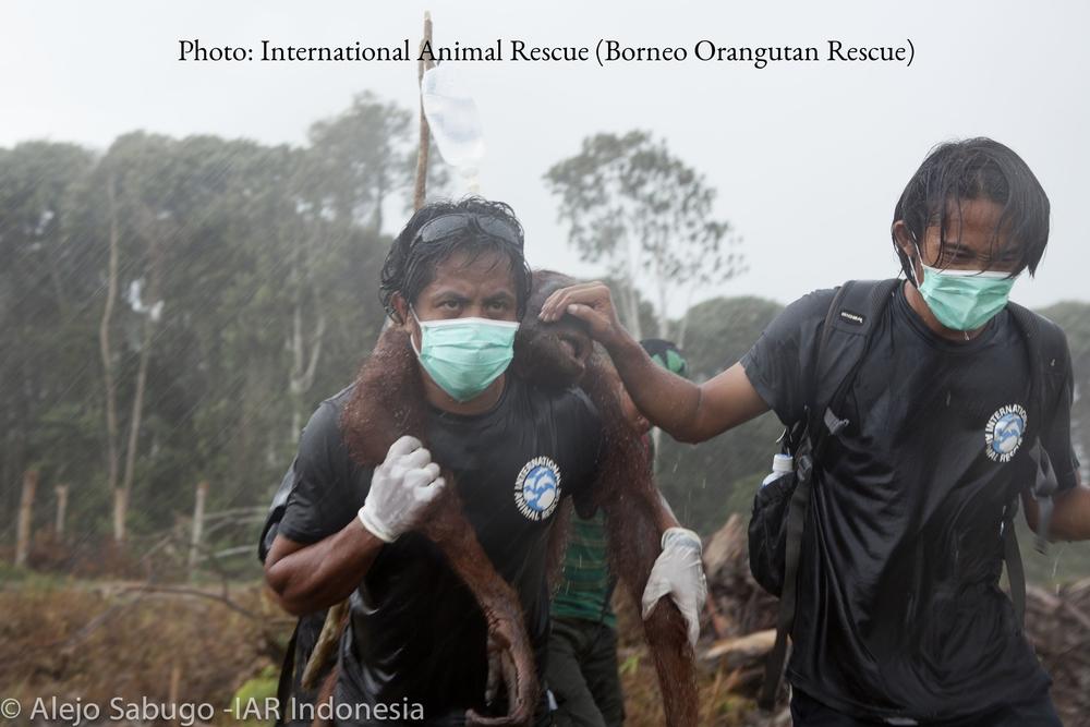 Orangutan.jpg