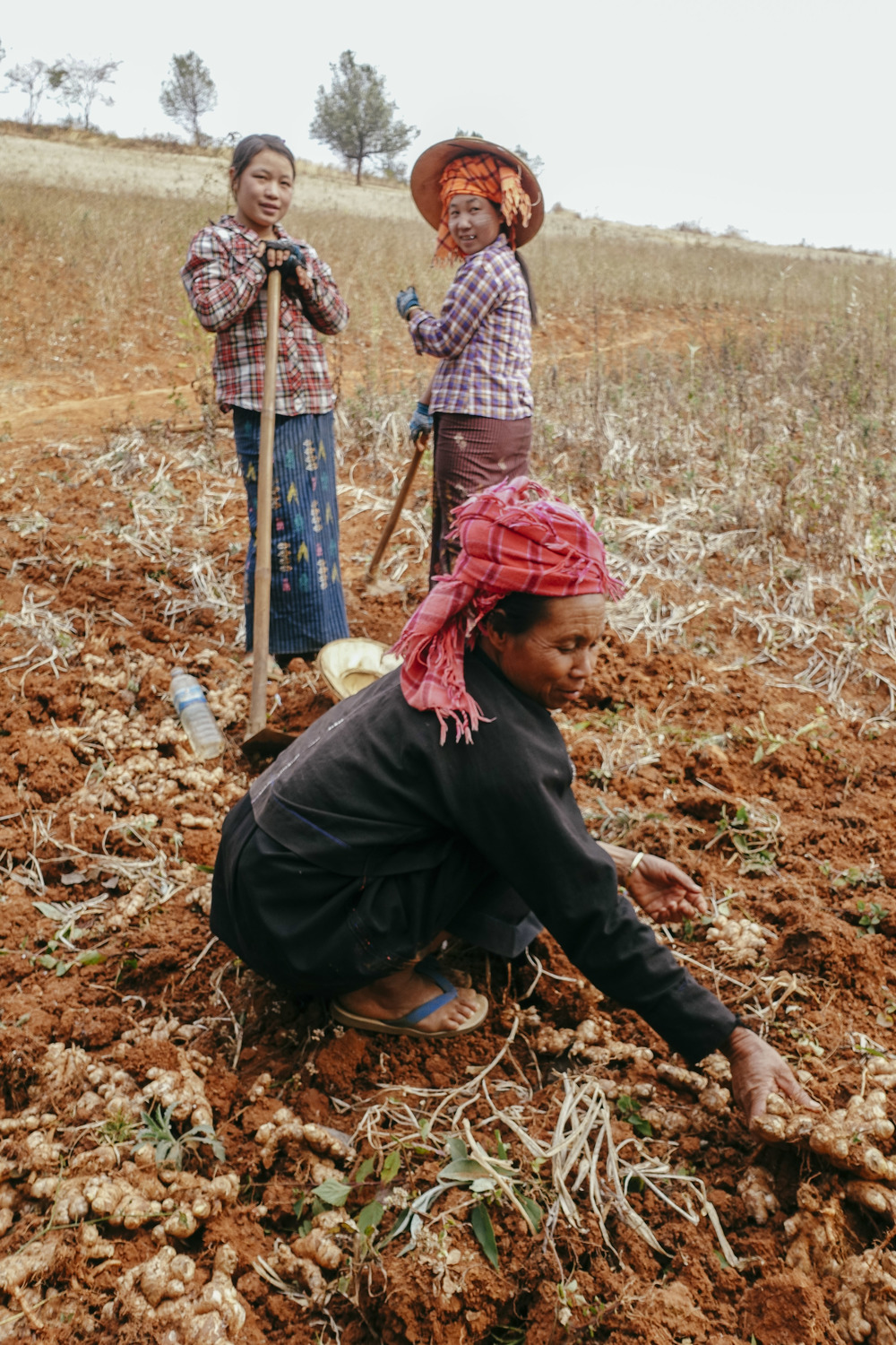Paoh women harvesting ginger.