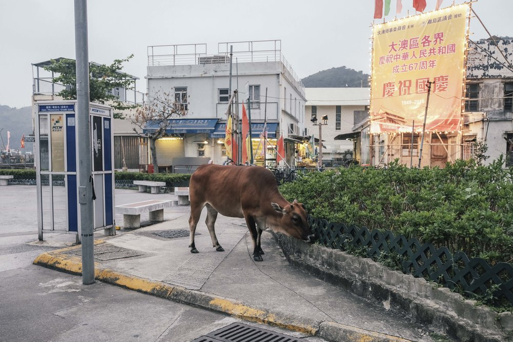 Even the cows are waiting for the bus here in Tai O