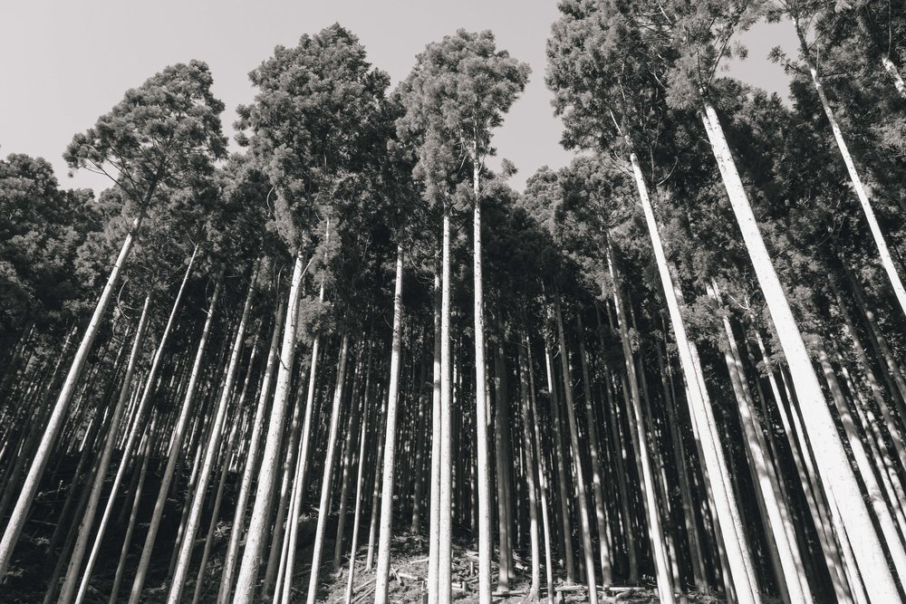 Endless rows of cedar trees line the sides on the road to Kibune. They might as well be deadwood. Planted in hopes of cashing in when demand for wood increased after the war, these trees were instead spurned and left to decimate fertile land. They are pointless for animals, who gain neither food nor shelter from them, and so become a virtual blight on the landscape.