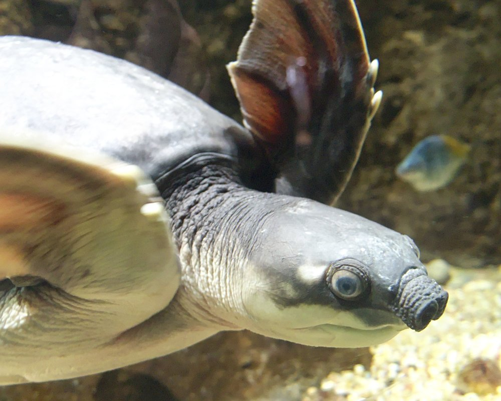 This is a random pig-nosed turtle, not Kang Kong. Photo: Junkyardsparkle (CCO), Wikimedia Commons