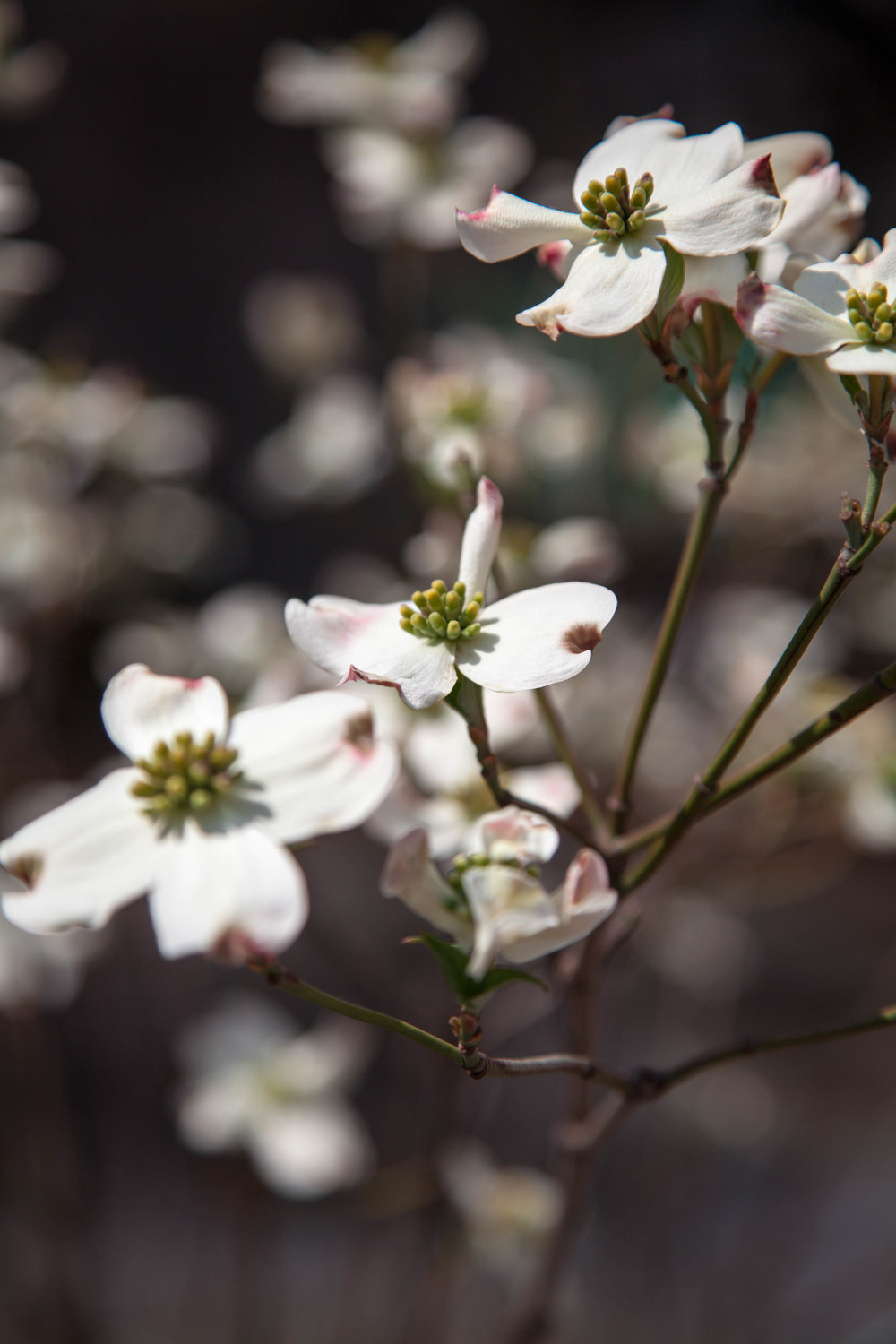 The Dogwood Blossom Planted in Honour of The Paris Agreement    inside the UN headquarters New York.