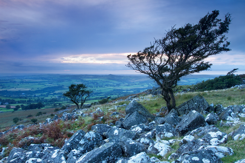 Windswept Trees, Dartmoor