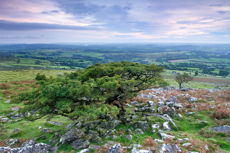 Hawthorns of Cox Tor, Dartmoor