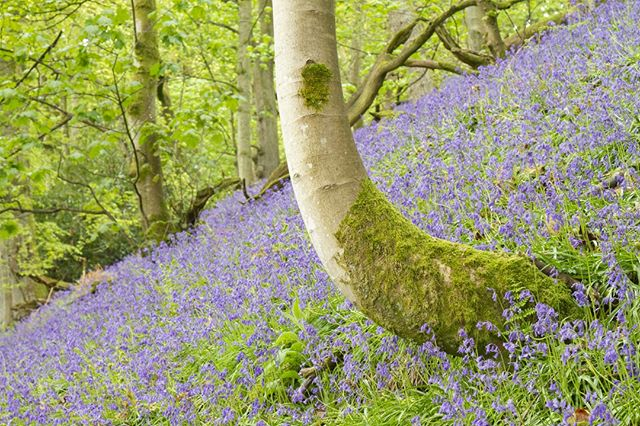 Finally been able to get back out shooting again to capture some of the fantastic bluebells that are beginning to make an appearance in Perthshire.  Join me in a few weeks at Kinclaven Woods for a photography workshop focusing on bluebells!  www.gavinritchie.co.uk