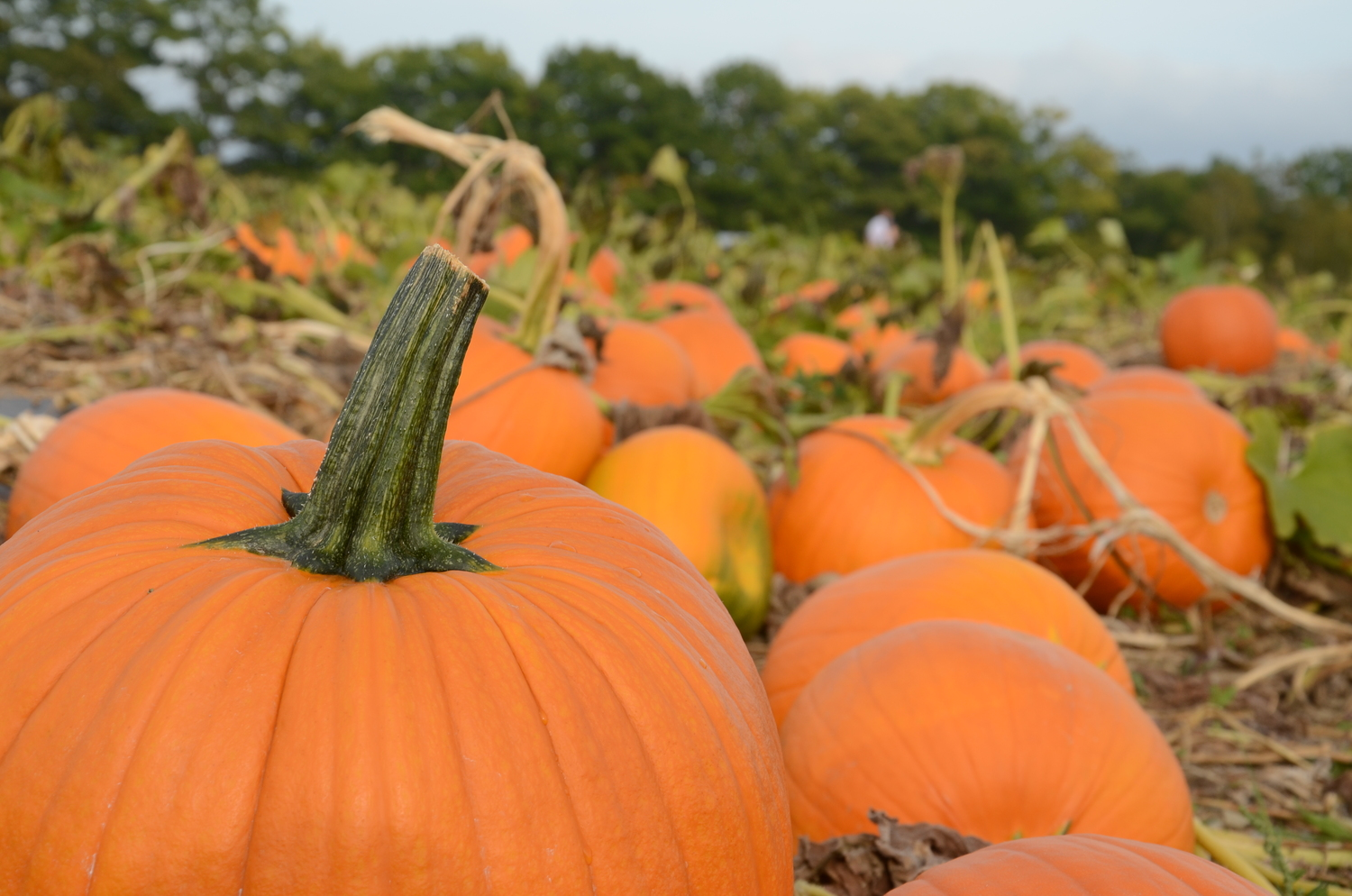 pumpkins and squash treworgy family orchards a maine family farm
