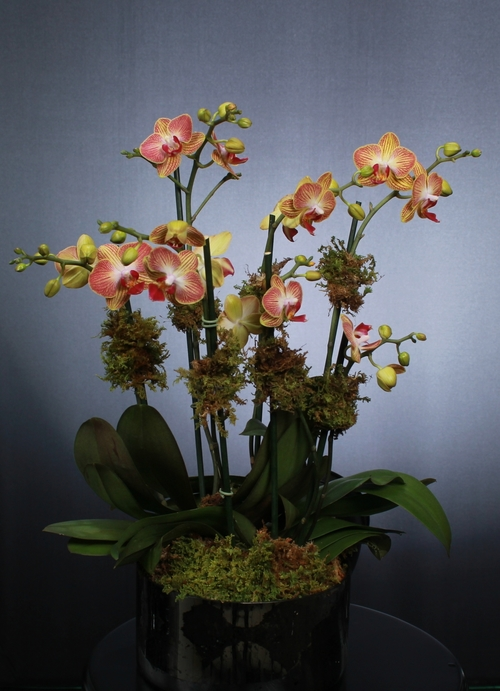 Click Here to purchase this Best Selling Orchid!