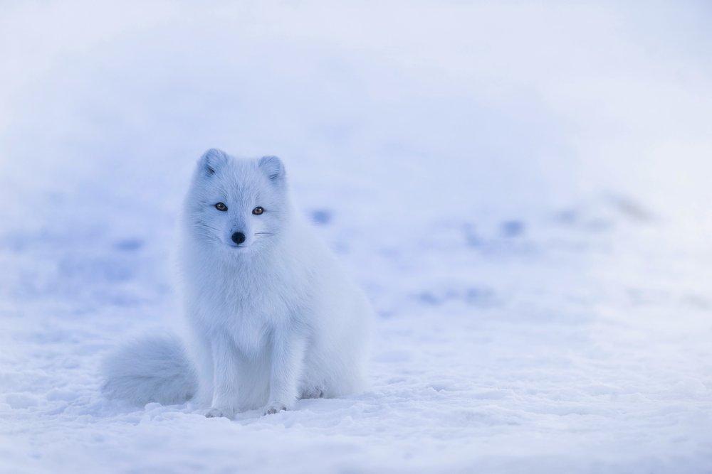 arctic-fox-iceland