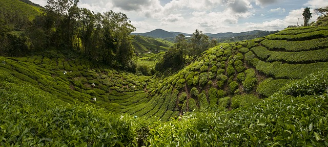 The verdant valleys of the Cameron Highlands