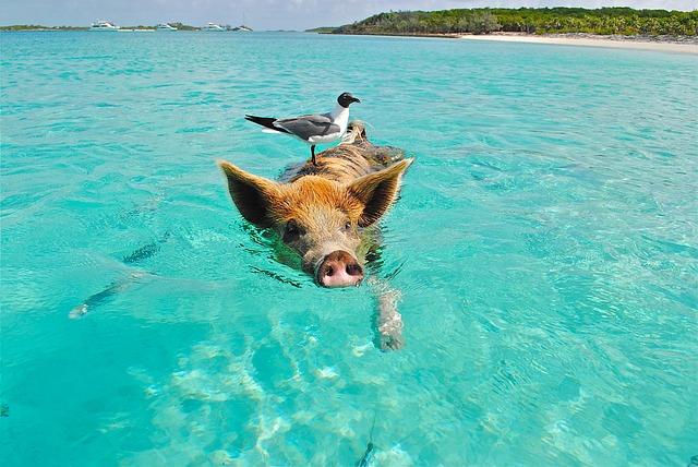 Swim with pigs, anybody?
