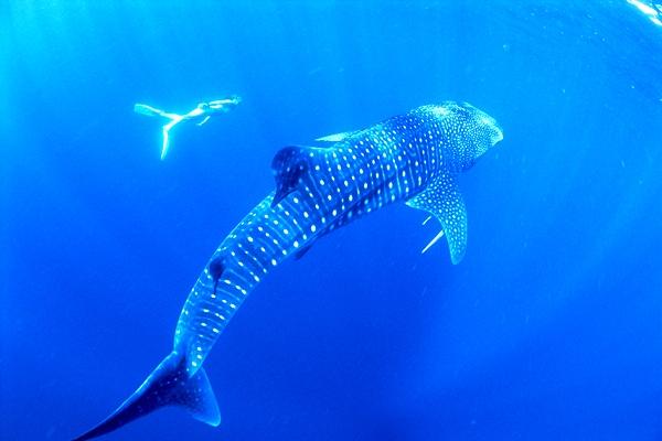 snorkelingwithwhalesharks