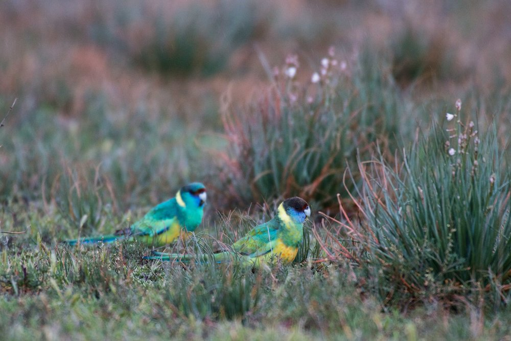 Australian Ringneck Parrots - Flinders Ranges (Arkaba).jpg