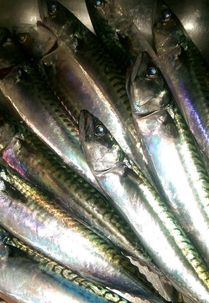 Stunning Mackerel from Cadgwith