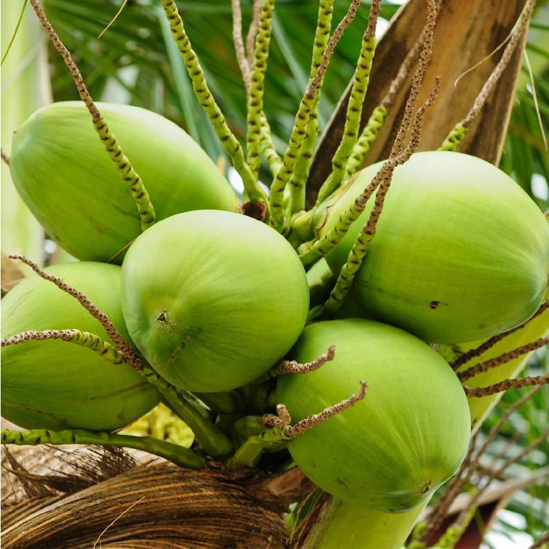 green baby coconuts growing