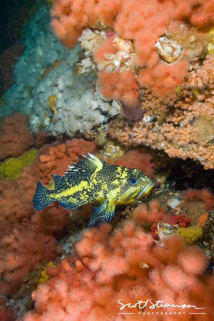 China Rockfish-4.jpg