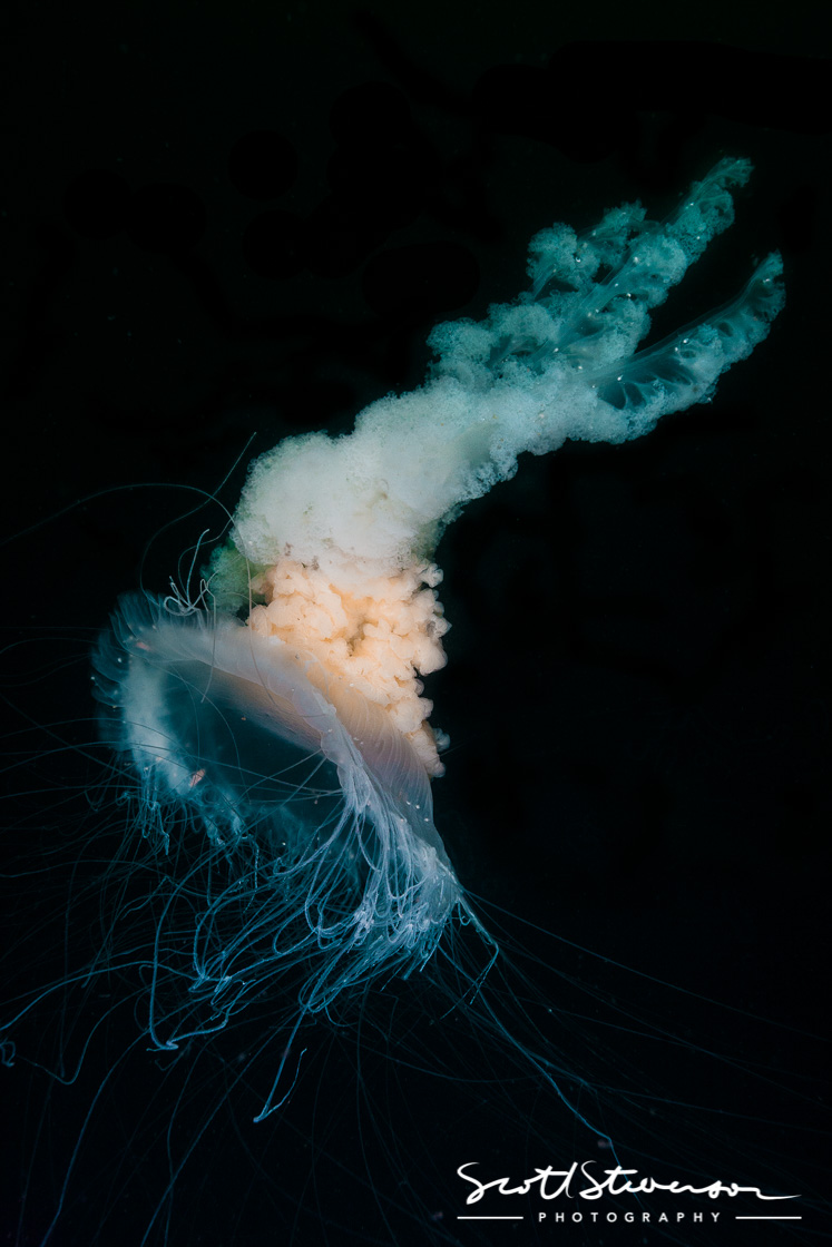 Fired egg Jellyfish