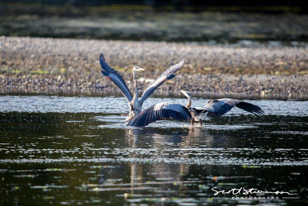 Blue Heron-1.jpg