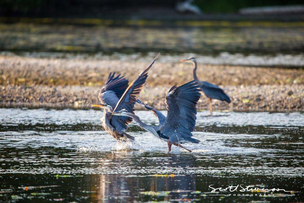 Blue Heron-5.jpg