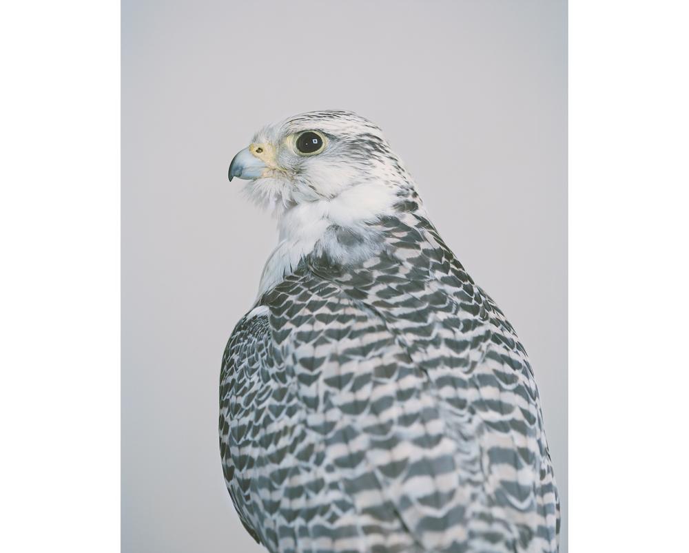 Gyr Saker Falcon, 2014