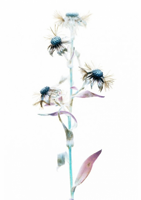 Rachel Warne - Autumn Study: Aster