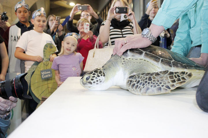 SARA LOVELACE/Citizen photo Gertrude, an endangered green sea turtle, is Kansas City's newest resident. Young environmentalist Alex Ross, 11, and his sister, Faye Ross, left, were front row at the KCI Airport Monday when she arrived.